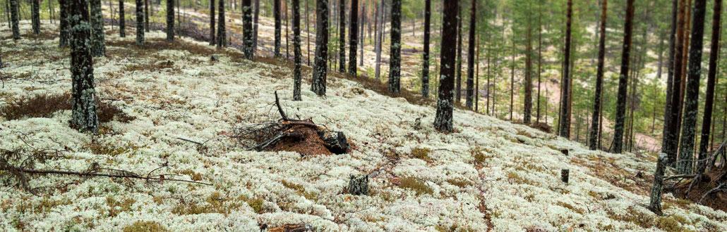 Wald mit Rentiermoos